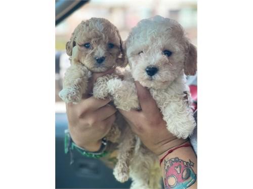 Maltipoo pups
