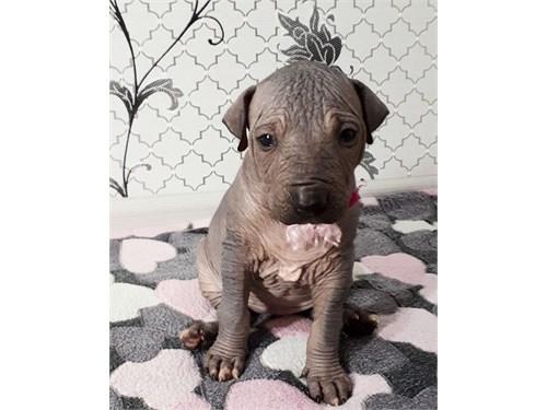 xolo Puppy