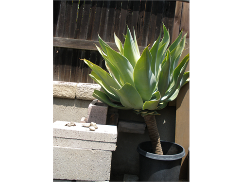 Agave Plants - Xtra Large