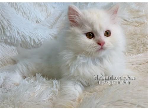 Beautiful Persian Kitten