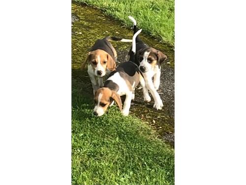 Fabulous Beagle Puppies.