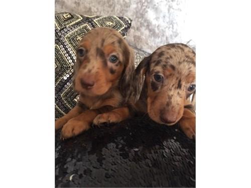 Cute Dachshund's Puppies