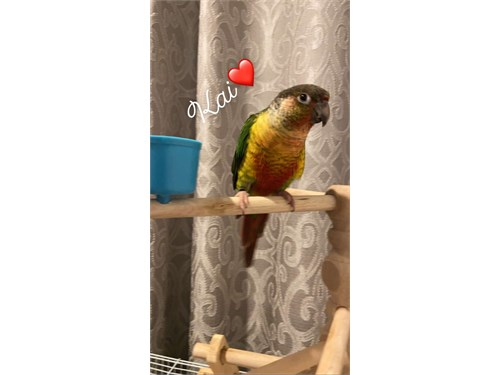 Conures tamed