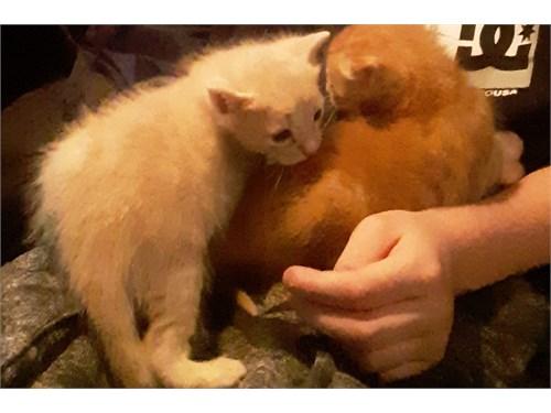 Bengal ragdoll kittens