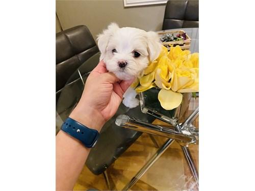 Male Maltese puppy