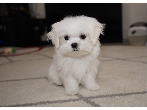 Maltese 2 Female Puppies