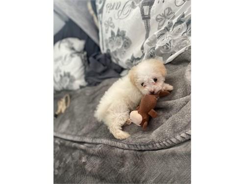 White female Maltipoo Pup