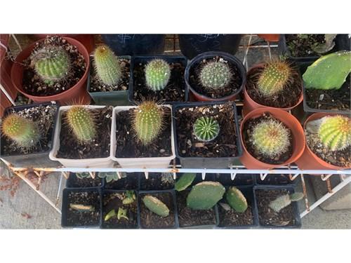 Hundreds of Cactus