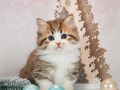 Charming Munchkin Cats