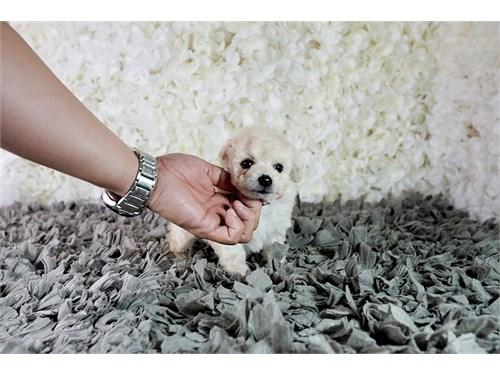 Maltipoo puppy puppies