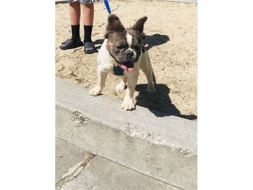 Fluffy French Bulldog