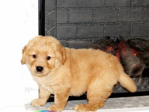 Pretty Golden Retriever P