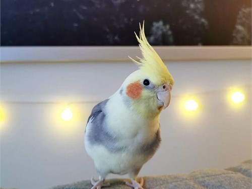 Cockatiels available now