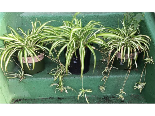 striped spider plants for sale azusa ca. Black Bedroom Furniture Sets. Home Design Ideas