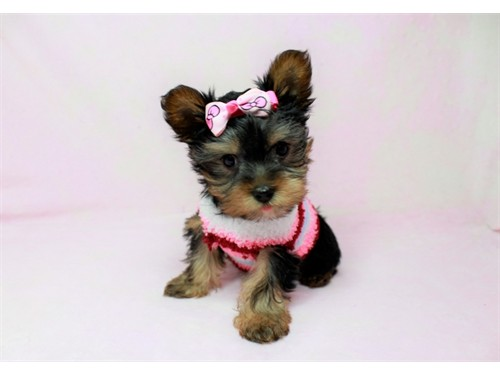 Teacup Yorkie Puppie