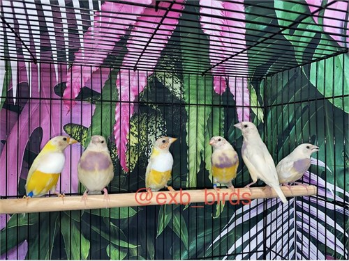 Silver & Yellow Gouldians