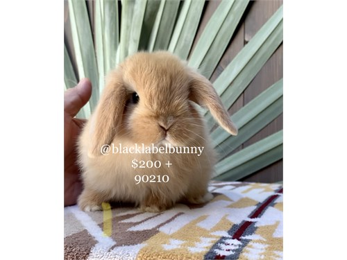 Holland Lop Babes 11/11
