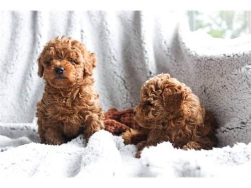 AKC Toy Poodle