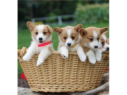C0-rgi puppies