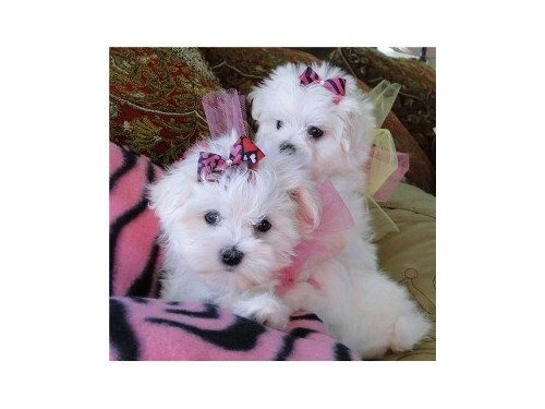 Two Teacup Maltese Pups