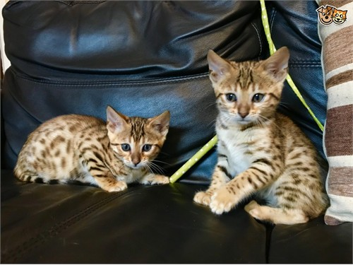 Legend Bengal Kittens