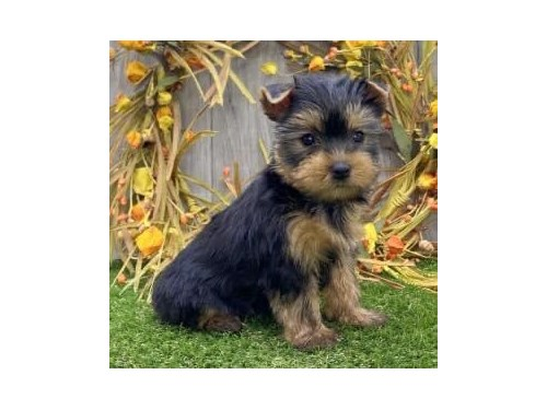 Beautiful yorkie puppy