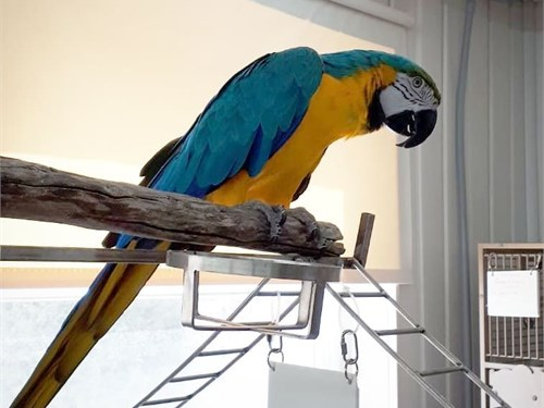 Blue and Gold Macaw sale