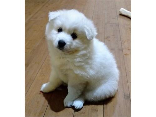 American Eskimo Dog pups