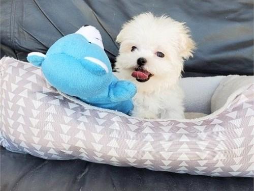 Chunky Maltese Pups