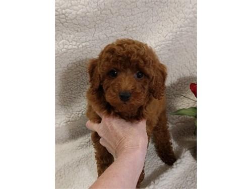 Pedigree Toy Poo+dle Pups