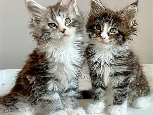 Super maine coon kittens