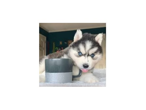 Siberian Husky puppies M