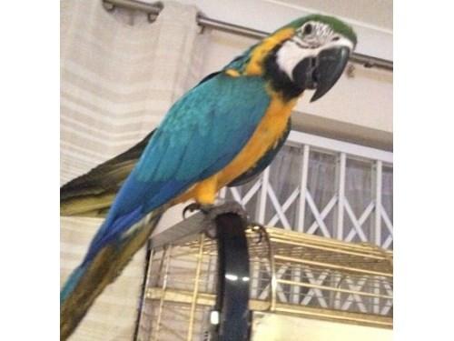 Female Macaw