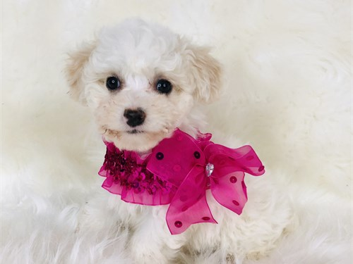 Poodle/toy/female
