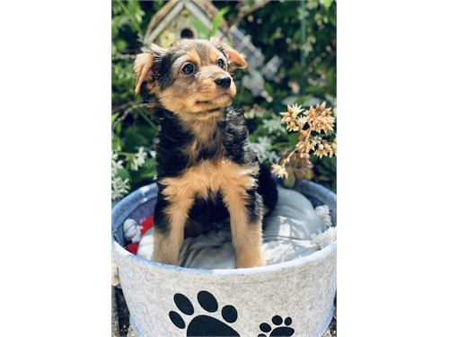 Yorkshire Terrier Mix Boy