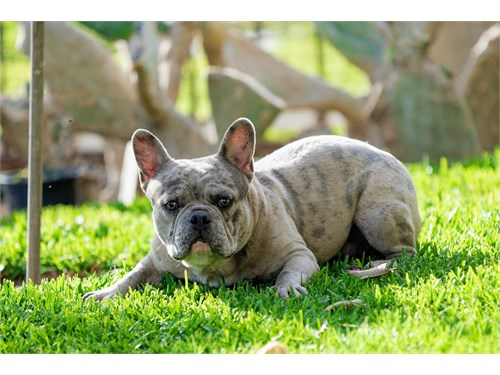 Merle French Bulldog Stud