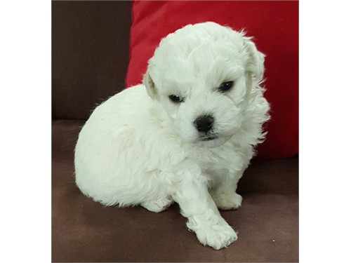 AKC BICHON FRISE PUPPIES