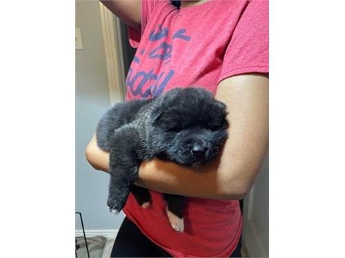 Cute Akita puppy