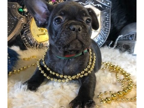 AUTHENTIC French bulldog
