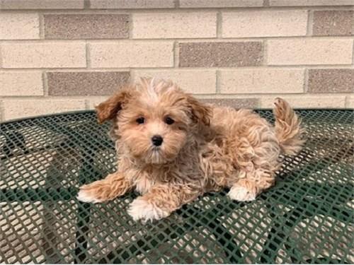 Maltipoo for adoption