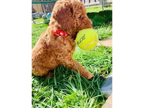 Apricot Toy Goldendoodles