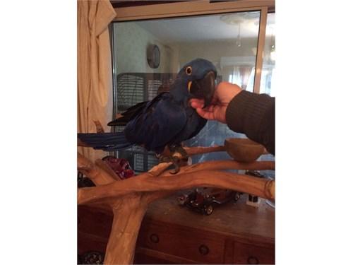 Full Tame Hyacinth Macaw