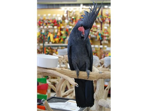 Black Plam Cockatoo