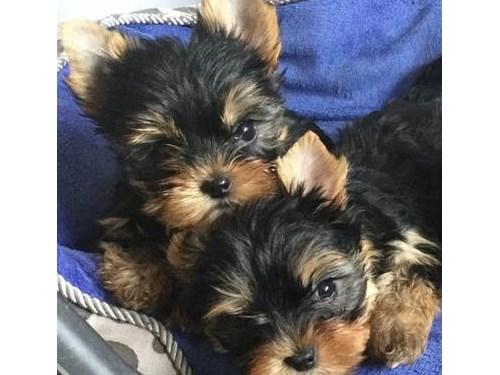 Pretty F/M  Yorkie Pups