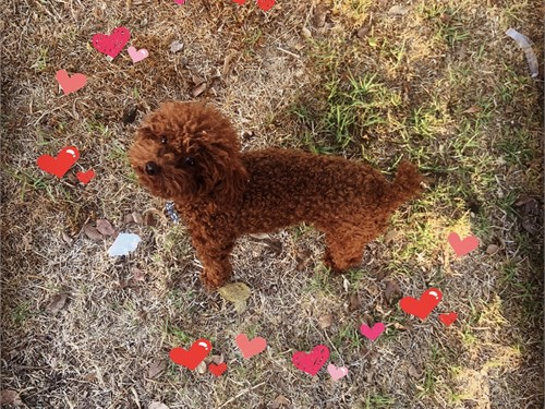 Red poodle breeding