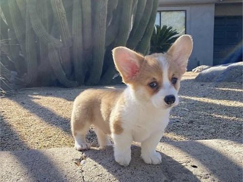 M/F Corgi puppies