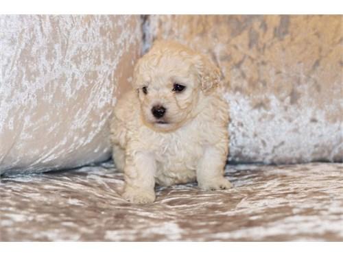 Maltipoo pups Adoption