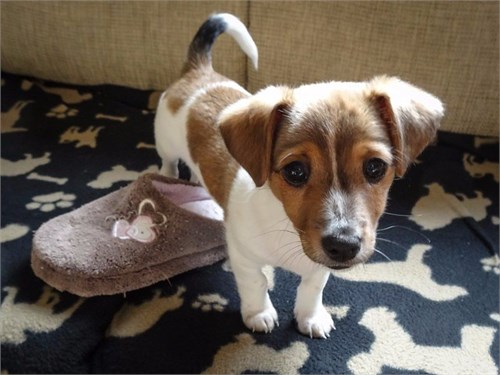 Cut Jack russel puppies