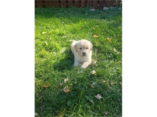 Akc Golden Retriever