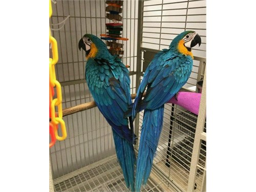 Babie Blue And Gold Macaw
